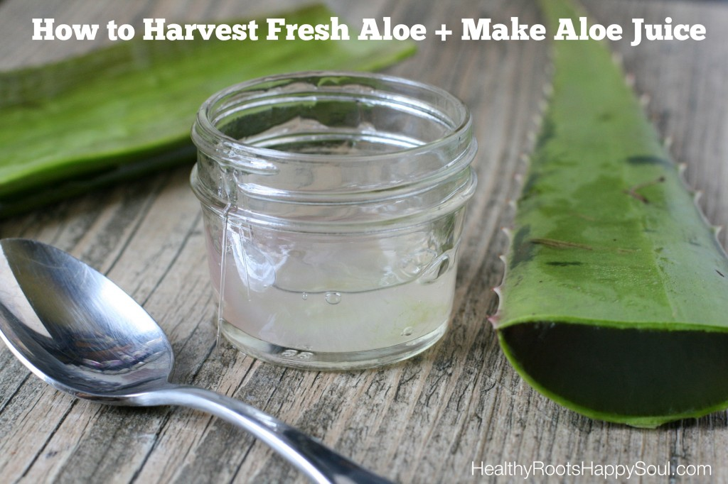 How to Harvest Fresh Aloe + Make Aloe Juice