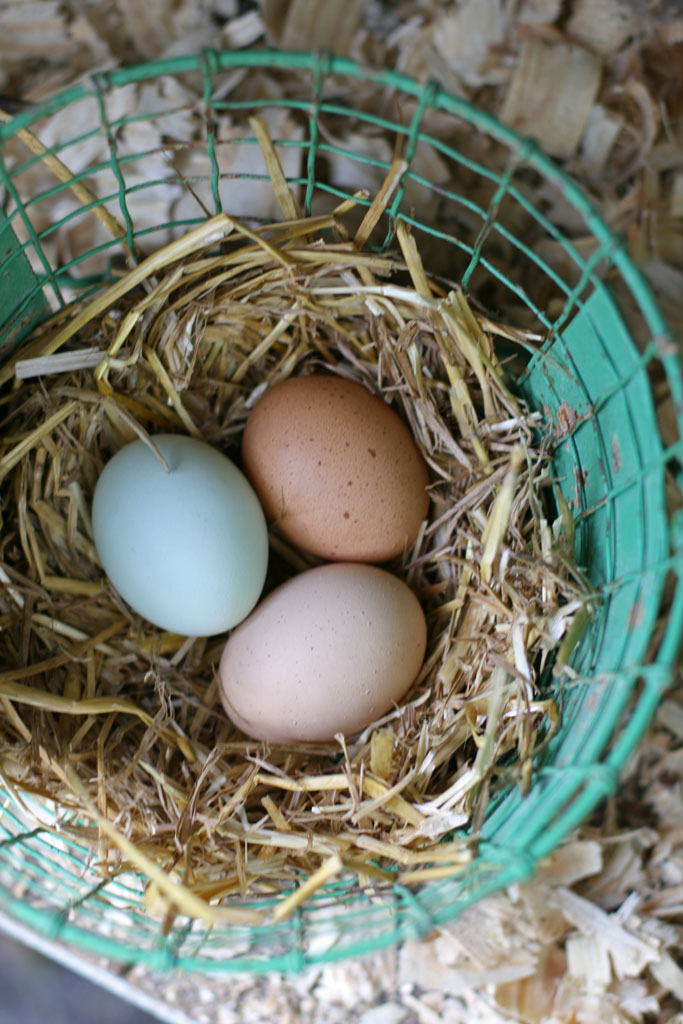 Does raising backyard chickens mean you get free eggs? When you tally up all the expenses, you'll quickly realize there is no such thing as a free egg.