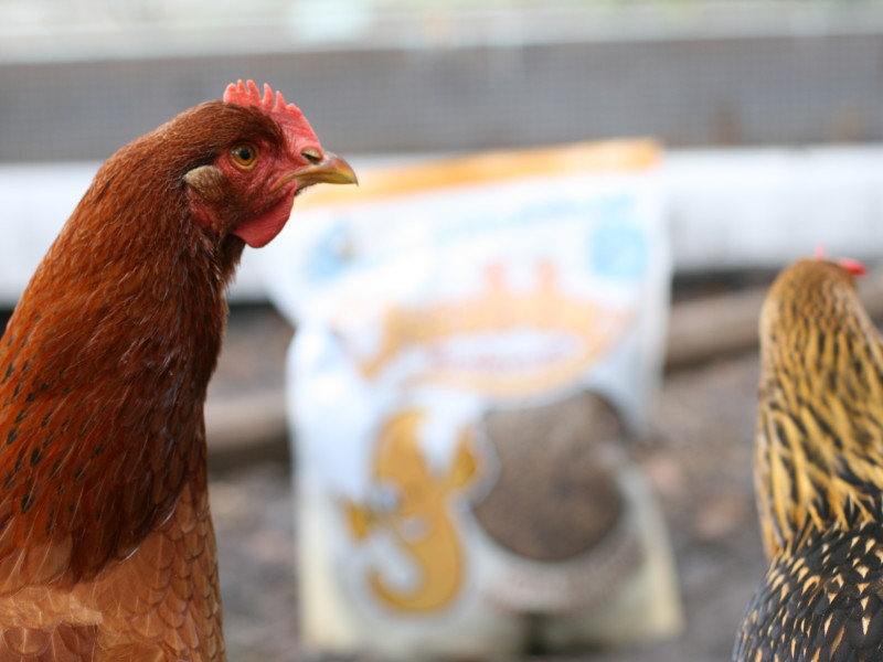 Who knew fluffy butts and quirky personalities could make you rethink turning old hens into food. These are 6 signs your chickens went from food to pets.