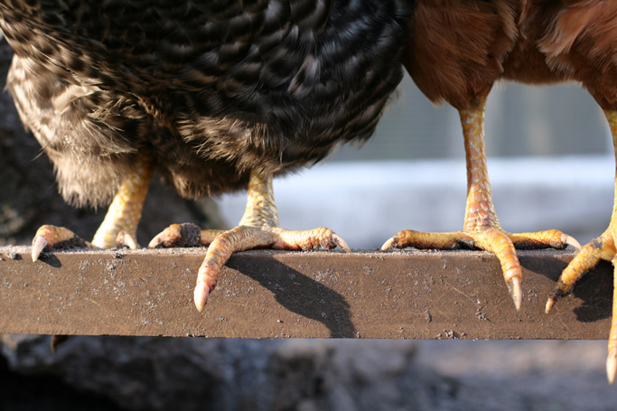 I wouldn't change how I feel about my chickens but what I've realized is raising backyard chickens in an urban setting is hard work -- worth it, but hard.