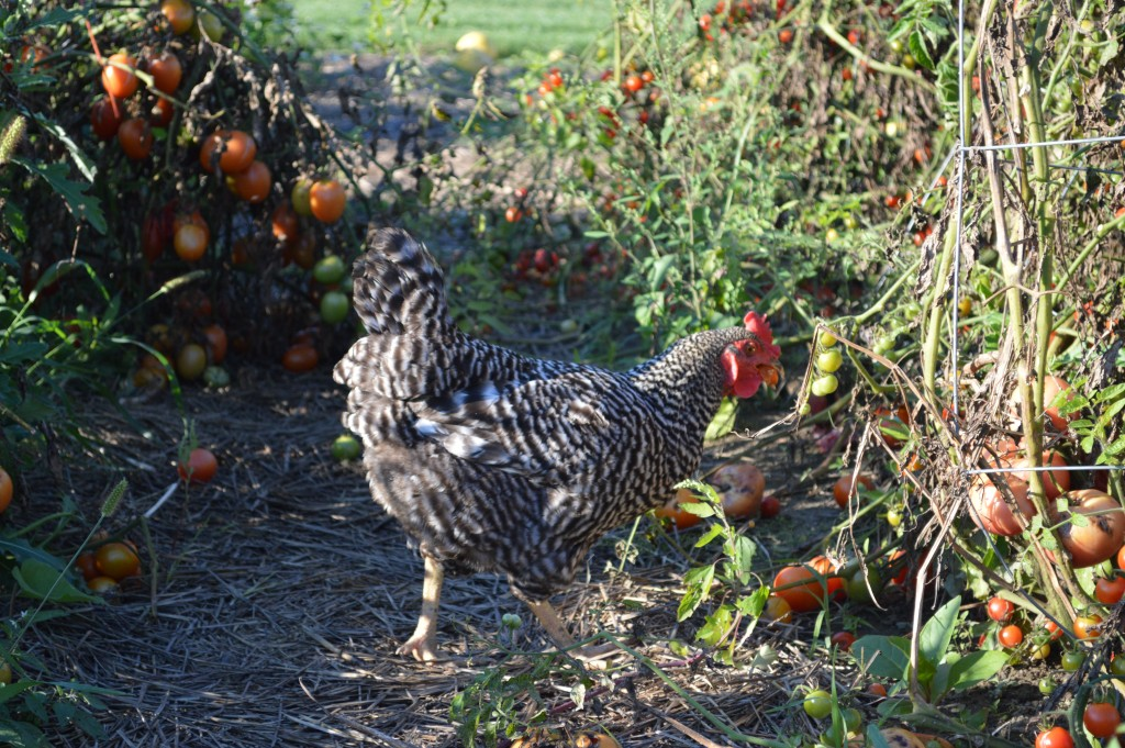 "Chicken poo, often dubbed as ""black gold,"" is a perfect addition to make nutrient-rich, compost for your garden. Turning chicken poop into fertilizer is easy and provides a no-waste approach in your backyard homestead."