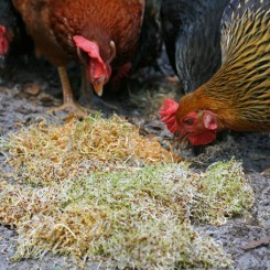 Growing Sprouts as Treats for Chickens