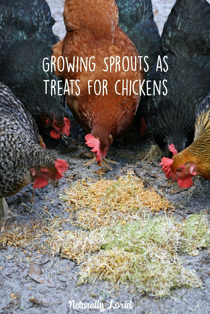 I'm on a constant mission to save money while raising the best eggs possible. Growing sprouts as treats for chickens is a great way for a cheap, healthy snack.