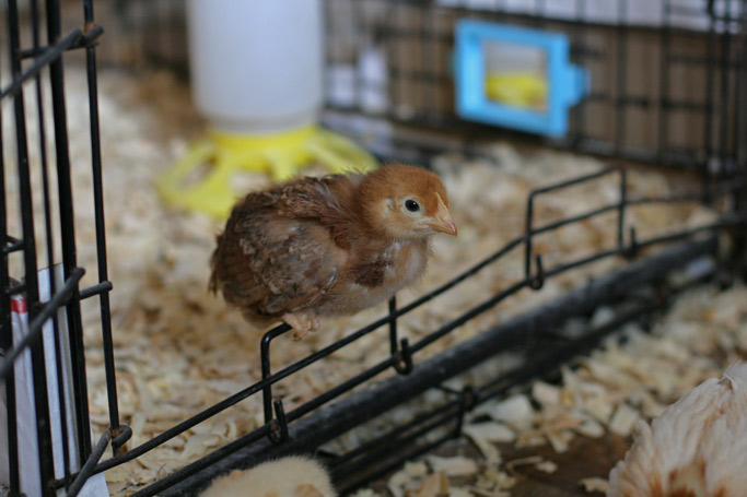 "Raising chickens is often a ""learning as you go thing."" In this post, I shared my lessons learned when it comes to brooder boxes for chicks and what I'll do next time."