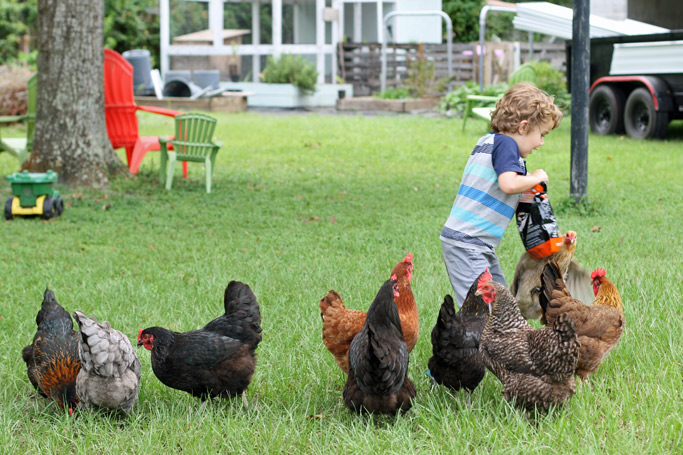 Thinking of getting chickens but not sure what kind? Before you get all the same breed, here's a post on why I love having a mixed flock of chickens.