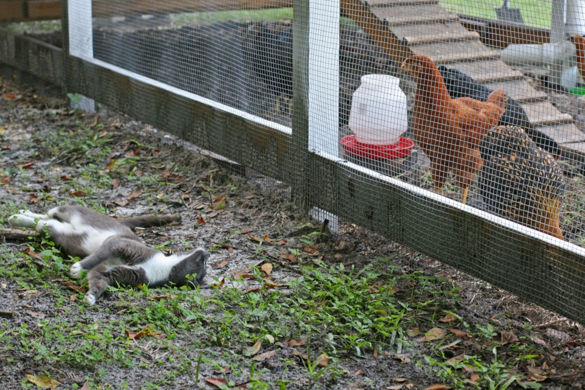 enclosed run chickens