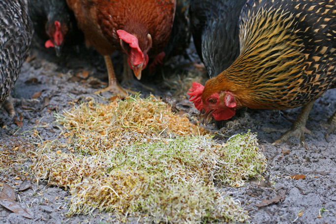 growing-sprouts-as-treats-for-chickens-horizontal-naturally-loriel