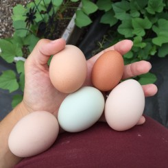 Tip: How to Tell When Your Chicken Will Start Laying Eggs (Video)